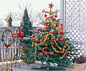 Picea (spruce) as a Christmas tree, decorated with Malus (apple)