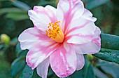 Camellia sasanqua 'Shibori Egao'