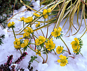 Eranthis hyemalis (winter aconite) in the snow