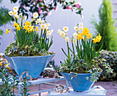Narcissus 'Bridal Crown' 'Tete a Tete' (daffodil)