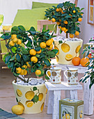 Citrus in pots with napkin decoration
