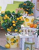 Citrus in Töpfen mit Serviettendeko: 3/3