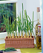 Plant bulbs in boxes for chopped greenery