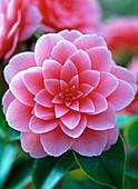 Camellia 'Mrs. Tingley '(camellia)