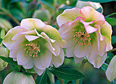 Flowers of Helleborus Gold Collection 'Double Surprise'