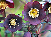 Flowers of Helleborus Gold Collection 'Merlin'