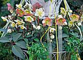 Helleborus Gold Collection (Christmas rose, Lenz rose)