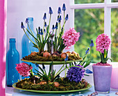 Etagere with Muscari and Hyacinthus
