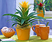 Yellow Guzmania (Guzmania), decorated with sisal and decorative ribbon