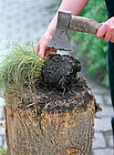 Share rootstock of Carex (sedge) with the help of a hatchet