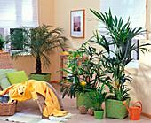 Rhapis (Steckenpalme), Chrysalidocarpus (Gold fruit palm), Howea