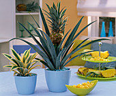 Pineapple with fruit and 'Variegata' in light blue planters