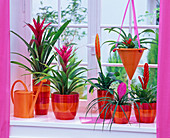 Guzmania pink hanging in planters and in hanging basket