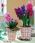 Hyacinthus and Muscari in checkered planters