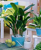 Aspidistra, Chamaedorea, in turquoise pots