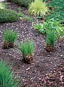 Share (rejuvenate) Molinia altissima (giant whistle grass)