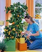 Frau düngt Citrus sinensis (Orange) und Citrus mitis (Calamondinorange)