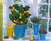 Mediterrane Fensterbank mit Citrus mitis (Calamondinorange), Thymus