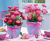 Rose and pink Bellis perennis in blue planters