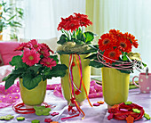 Gerbera in pink and red in light green planters, decorated with sisal