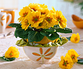 Yellow primula acaulis in cereal bowls with sleeves