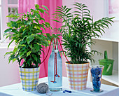 Holiday irrigation with woolen threads, Ficus (rubber tree), Chamaedorea