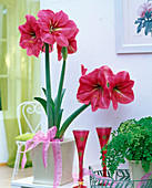 Hippeastrum 'Hercules' (Amaryllis, pink) in a square planter