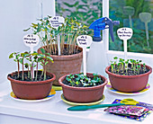 Sowing on the window board: Dolichos, Ipomoea