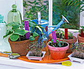 Sowing Cucumis and Raphanus on the windowsill