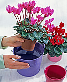 Dip cyclamen persicum (cyclamen) in buckets of water
