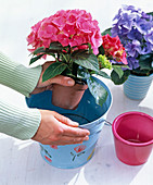 Dip hydrangea (hydrangea) with pot in bucket with water
