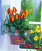 Tulipa, Hedera in pot attached to wall bracket