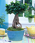 Ficus nitida 'Ginseng' (rubber tree) as bonsai in turquoise shell