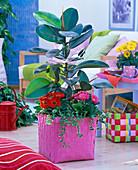 Ficus elastica (Gummibaum) und pumila 'Sunny', Gerbera in pinkem Korb