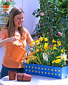 Plant blue box with daffodils, hyacinths and viola