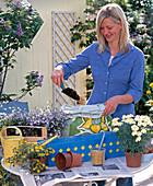 Plant blue metal box with daisies, Sanvitalia and Lobelia
