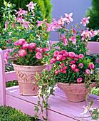 Aquilegia 'Swan Rose' (columbine), Bellis (daisies)