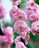 Prunus triloba (almond tree)