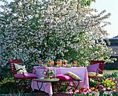 Breakfast before blossoming malus 'Evereste' (ornamental apple tree)