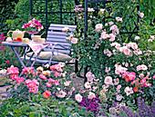 Pink 'New Dawn' (climbing rose), 'Duchess Friederike'