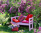 Pink wooden bench in front of blooming syringa vulgaris