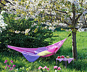 Hammock between blooming prunus (cherry trees)