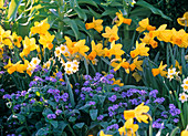 Spring bed with Narcissus 'Jetfire', 'Minnow' (Daffodil)