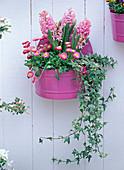 Hyacinthus 'Pink Pearl' (Pink Hyacinth), Bellis