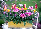 Spring box, Tulipa 'The First', 'Peach Blossom' (tulip)