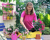 Plant yellow box with fuchsias