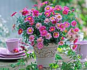 Argyranthemum frutescens in flowering pot, Clematis tendril
