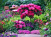 Rhododendron, Azalea, Erysimum, Tulipa