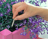 Sticking fertilizer sticks in the pink box with Lobelia (manly litter)