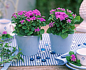 Ageratum in blue planters on a checked table runner
